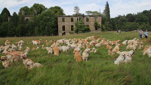 222 Golden Retriever Puppies.