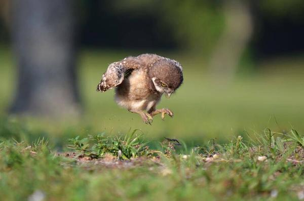 Baby Owl is trying really hard.